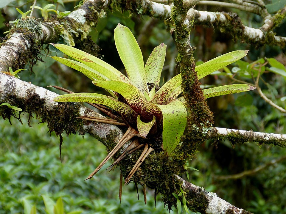 how to get a bromeliad to flower - bromeliad growing on a branch of a tree
