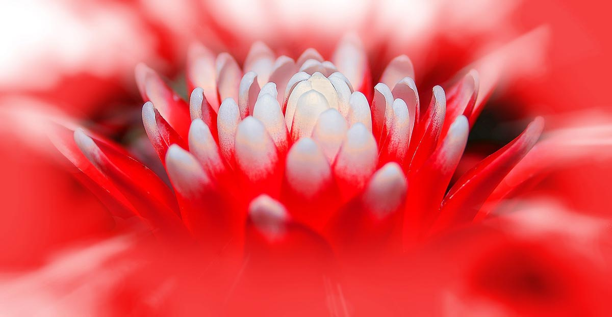 this is an image about how to get a bromeliad to flower - red and white tipped flowers