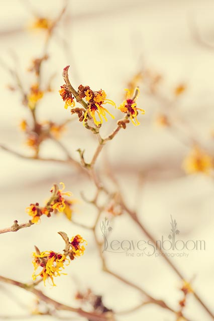 hamamelis-x-intermedia-orange-beauty
