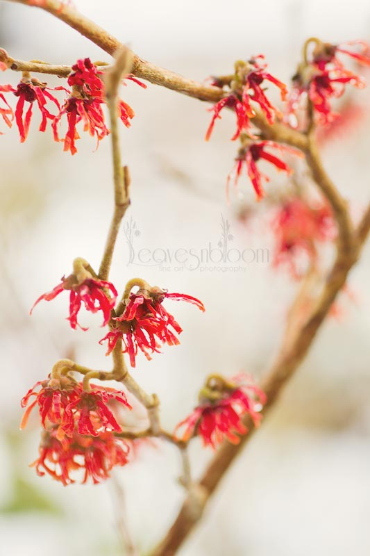 this is an image of red flowered Witchhazel Diane