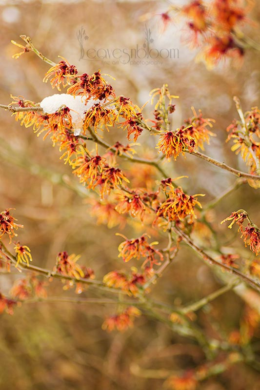 this is an image of witch hazel Jelena in flower in February