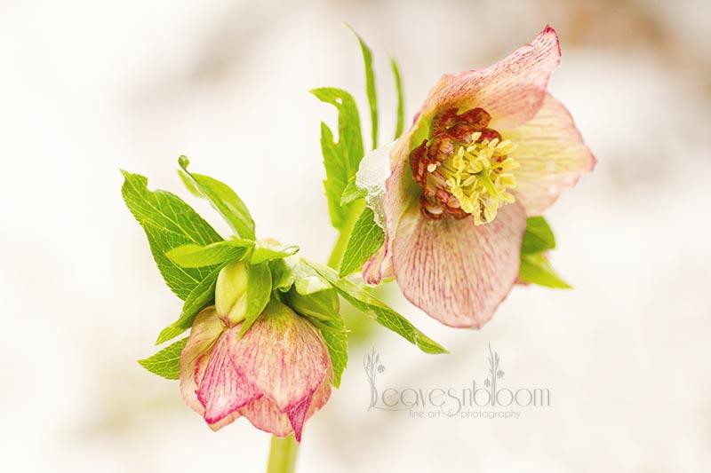 Helleborus-orientalis-Picotee