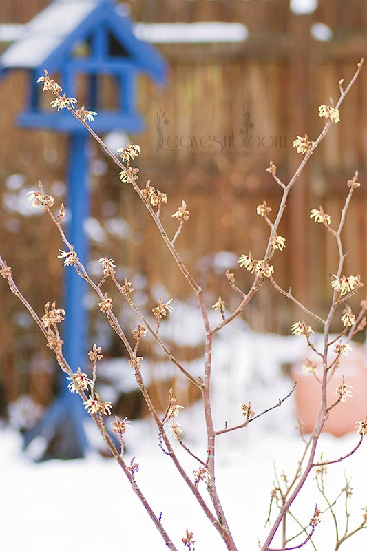 Witchhazel Pallida in bud in the snow