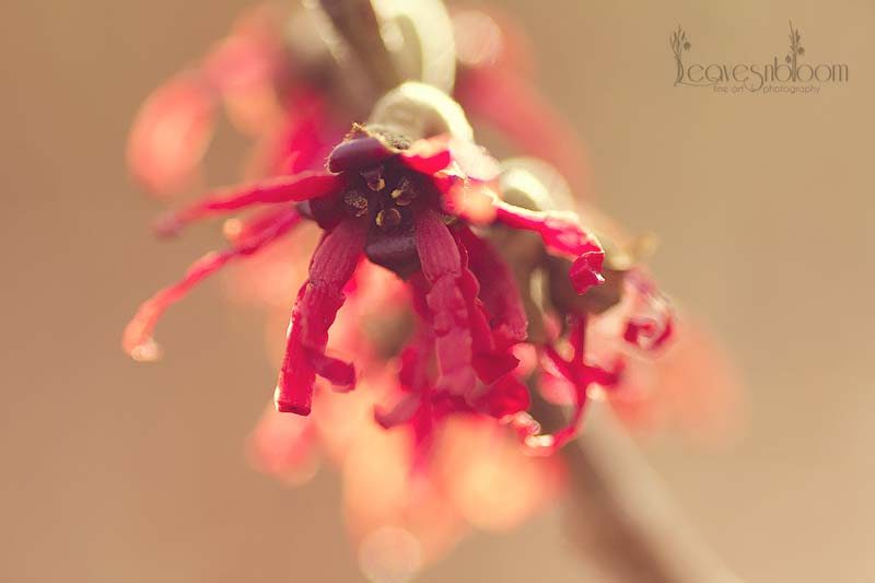 Winter Flowering Witch Hazel - Diane