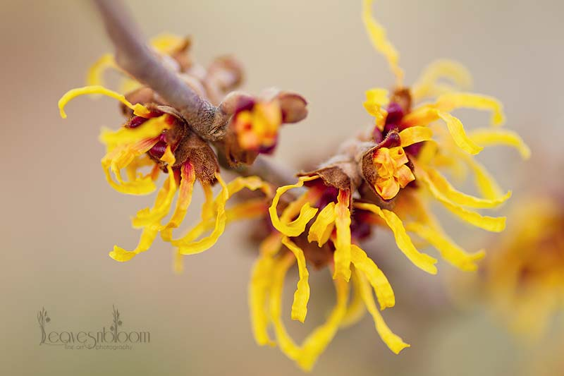 Winter Flowering Witch Hazel - orange beauty