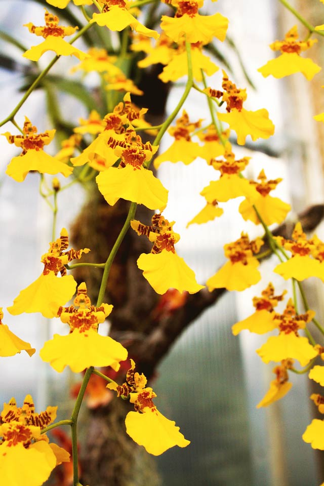 Oncidesa Sweet Sugar orchid formerly known as Oncidium - the yellow dancing lady orchid
