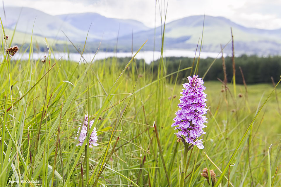 this is an image of Northern Marsh orchids in flower