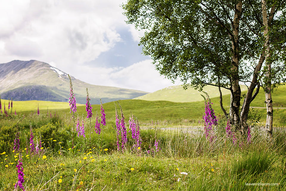 this is an image of the pink foxgloves growing on the hillside along the A82 road
