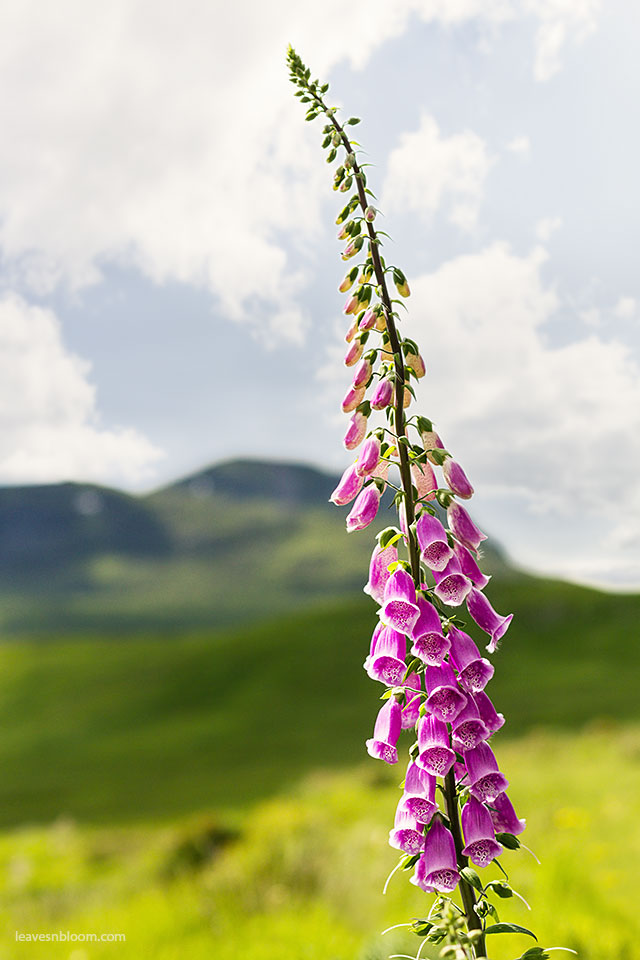 this is an image of Native Scottish Pink Foxgloves - Digitalis purpurea in flower in July along the A82