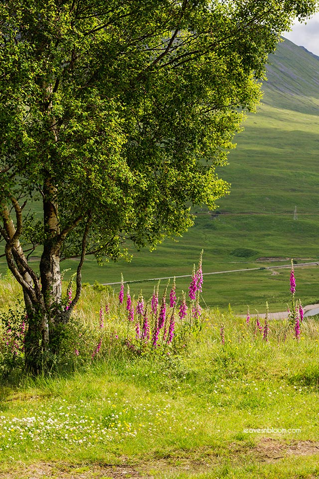 this is an image of pink foxgloves growing in July in the Scottish highlands.