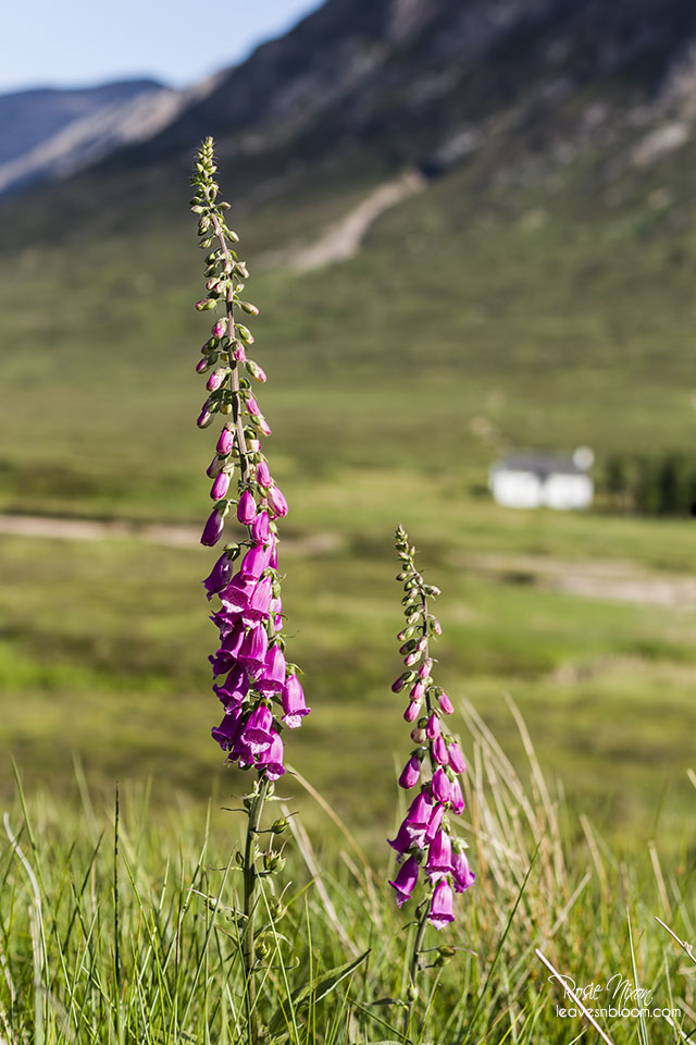 this is an image of pink foxgloves - native Scottish wild flowers