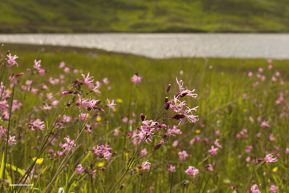 this is an image of pink ragged robin Scottish wild flowers