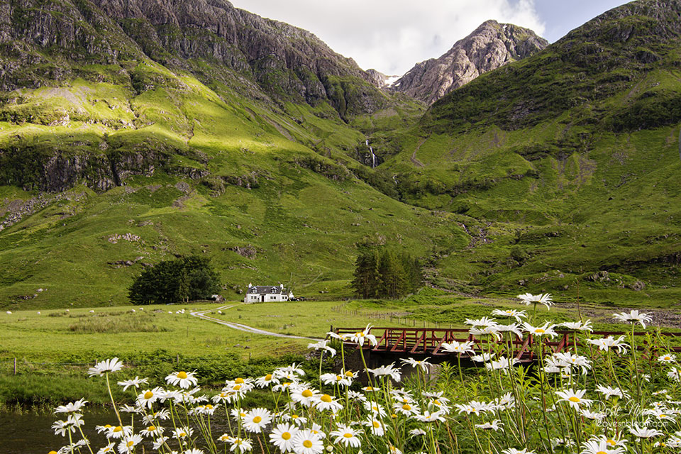 this is an image of white ox eyed daisies at Achnambeithach Cottage on the road to Glencoe