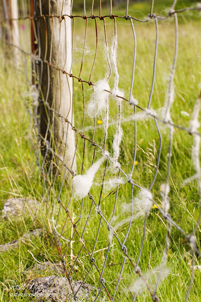 this is an image of a wire fence with lots of sheep wool attached