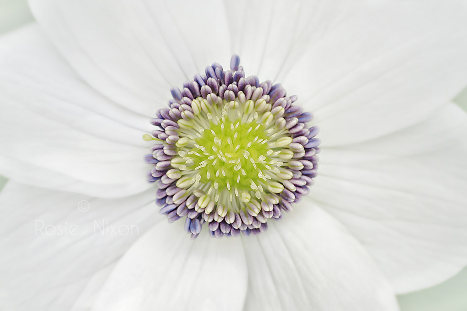 this is a macro image of the centre of an anemone flower