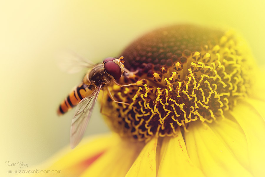 this is an image of a hoverfly nectaring on a yellow helennium flower