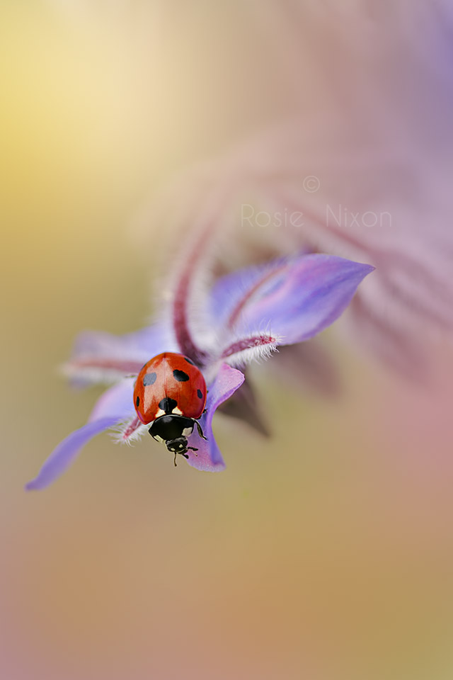 this is an image of a 7 spot ladybird on a blue borage flower