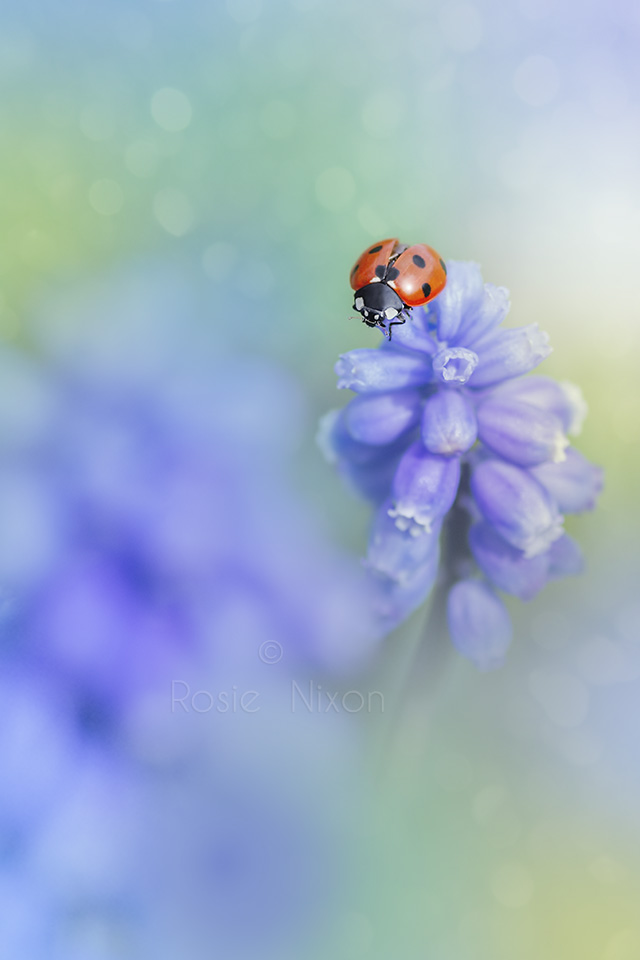 a ladybird about to fly off a blue muscari flower in spring
