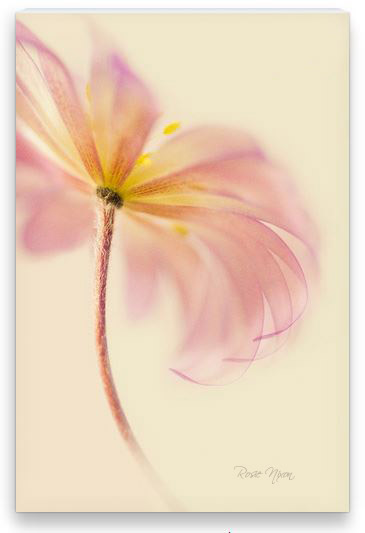 this is a pink anemone canvas print