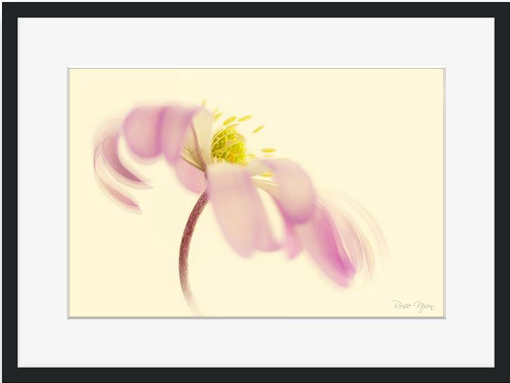 pink anemone matte print