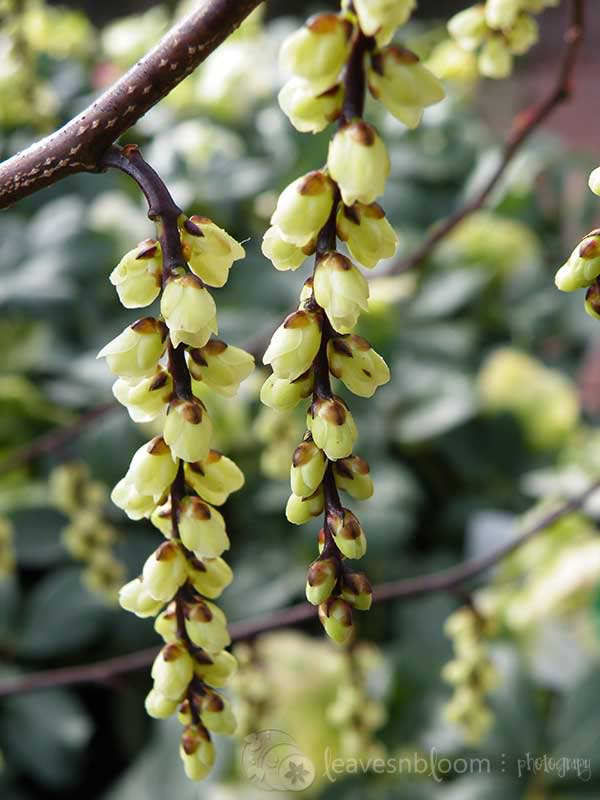 yellow winter flowering Stachyurus praecox