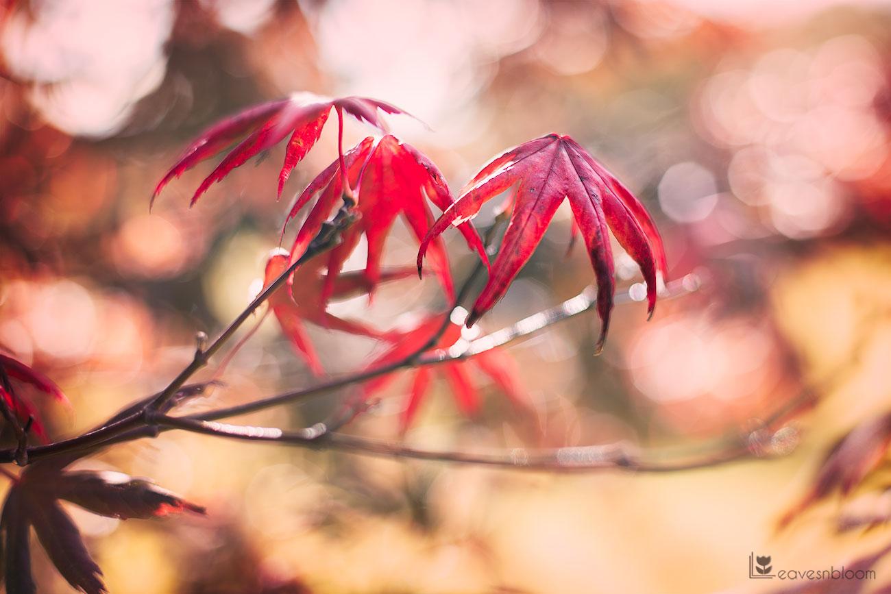 red autumn leaves seen on Scott Kelby's Photowalk