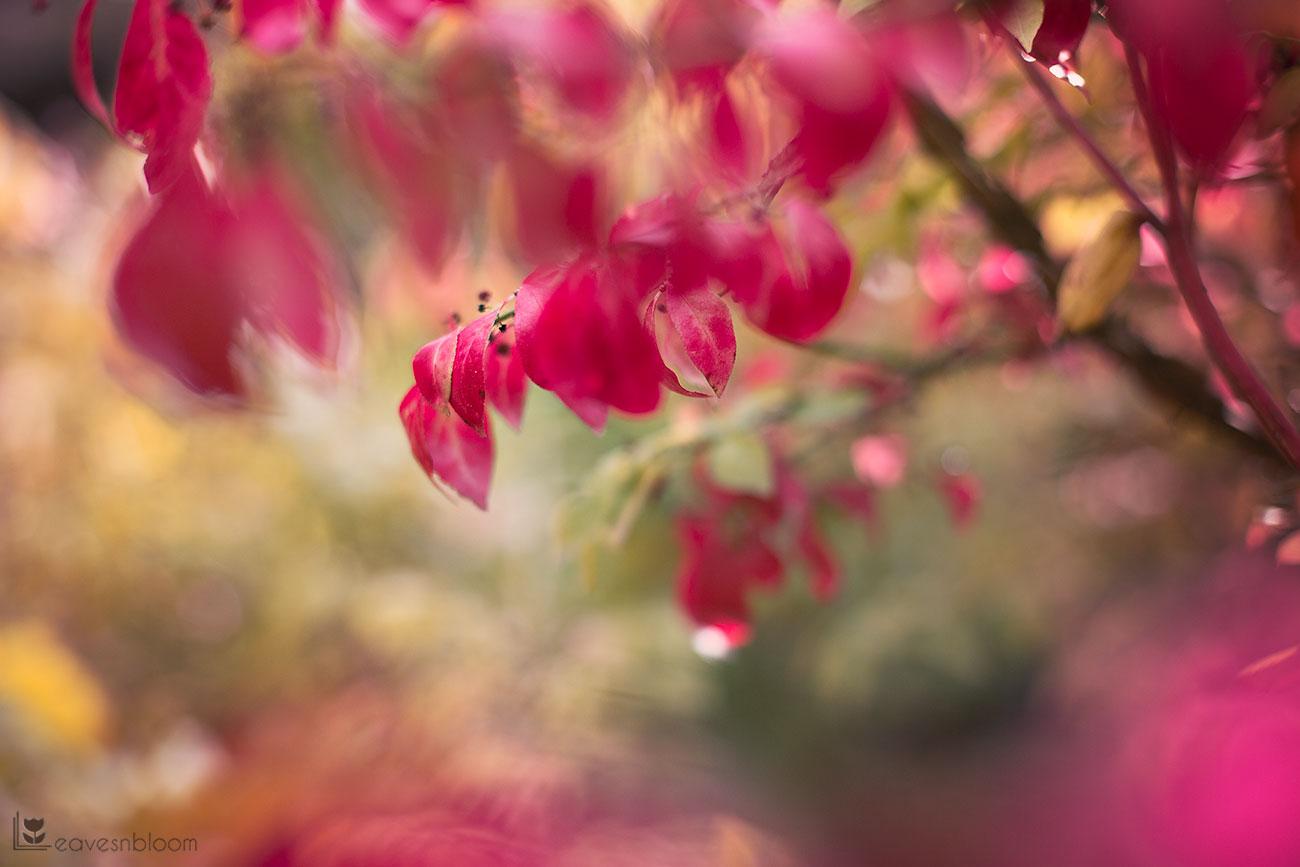 Euonymus alatus winged spindle tree dark pink autumn leaves seen on Scott Kelby's Photowalk