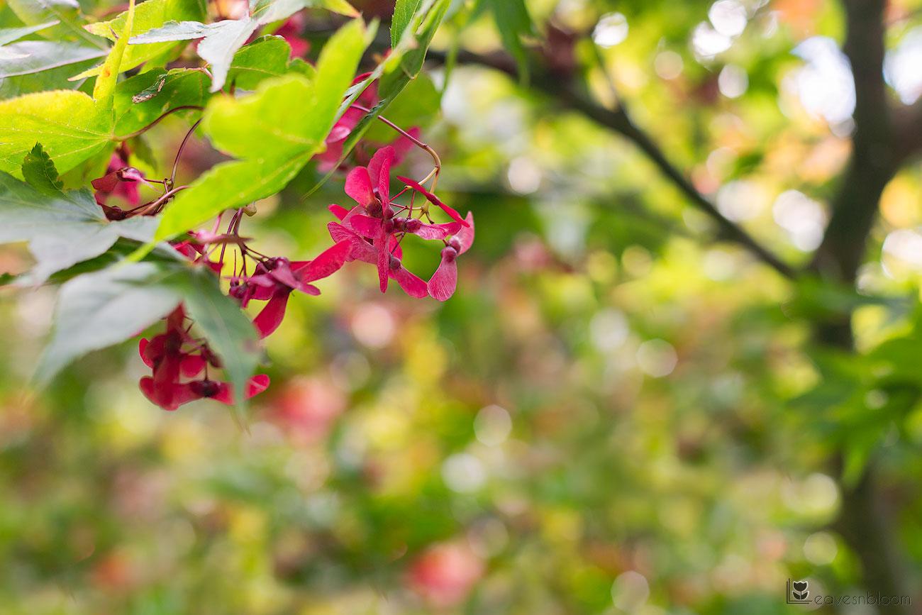 maple tree winged seeds seen on Scott Kelby's Photowalk