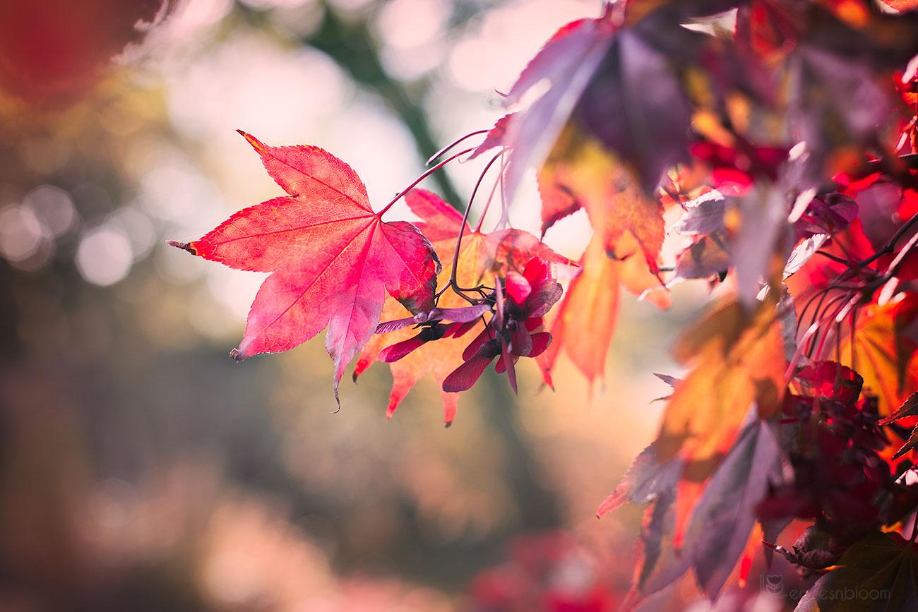 red autumn maple leaves seen on Scott Kelby's Photowalk