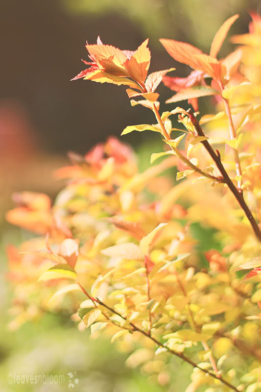 Spiraea japonica 'Goldflame' Spring foliage leaves