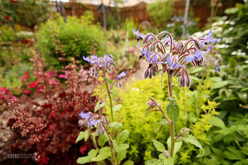 Blue Borage blooms - Borago officinalis