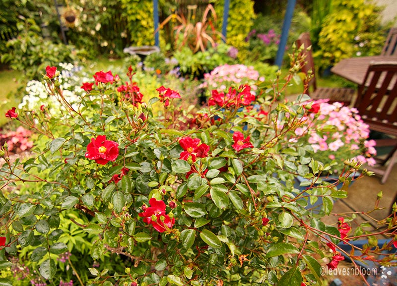 Standard rose 'Red Flowering Carpet'