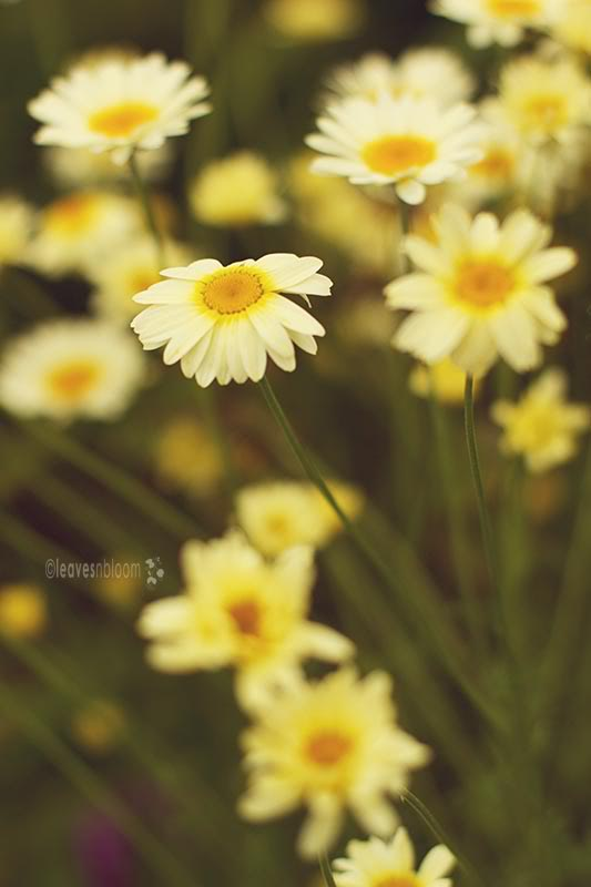 pale yellow Anthemis tinctoria 'Hollandaise Sauce' daisy flowers - what's in bloom in July
