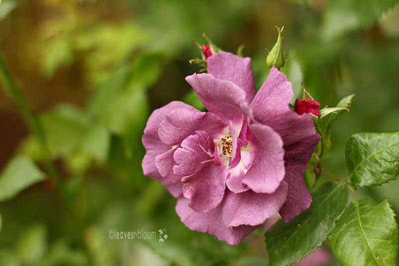 Rosa 'Rhapsody in Blue' blooms