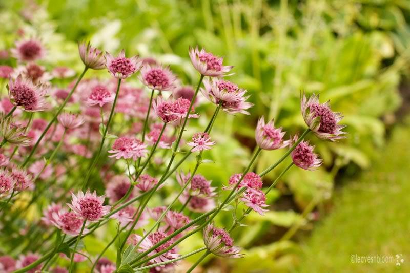 Astrantia rubra flowers