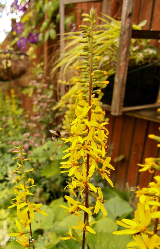 What's in bloom in July - yellow Ligularia 'The Rocket'