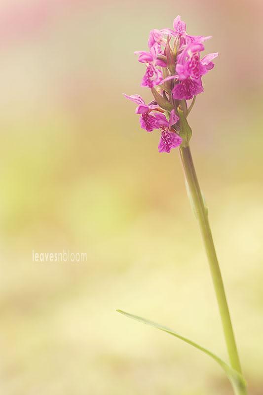 pink Dactylorhiza majalis ssp. purpurella | Northern Marsh Orchid