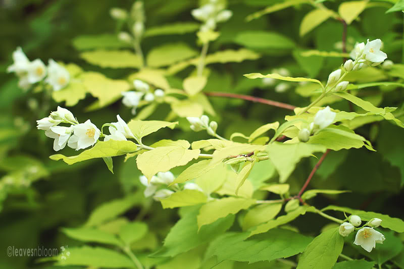 Philadelphus coronarius 'Aureus' with white flowers in June