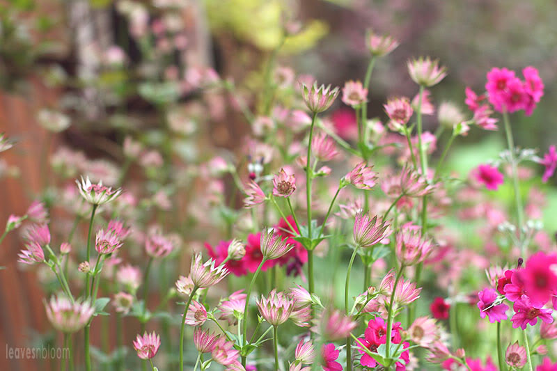 pink Astrantia major 'Rubra'