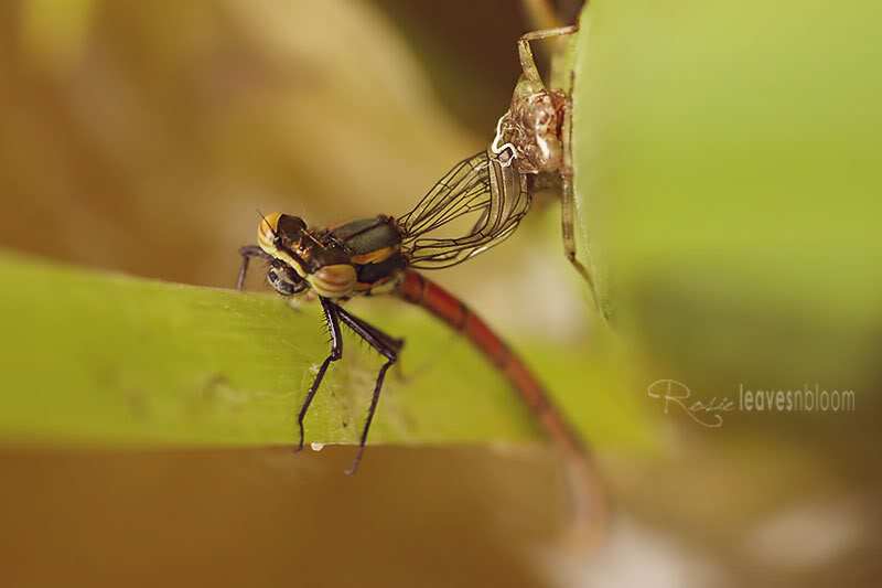 Gradual Metamorphosis of a large red damselfly