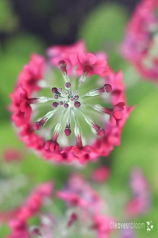 Whorl of candelabra primula