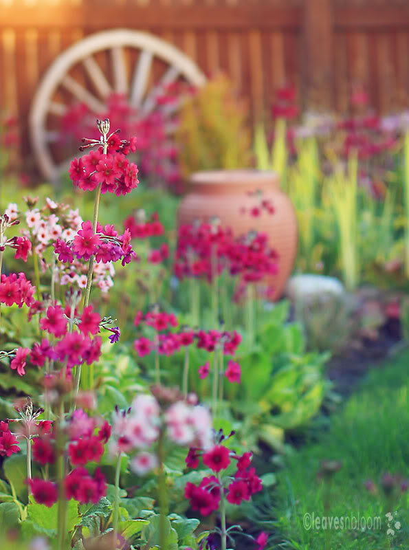 this is an image of pink Primula japonica Millers crimson flowers
