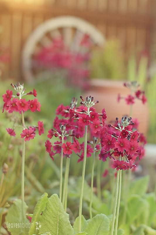 millers crimson primroses