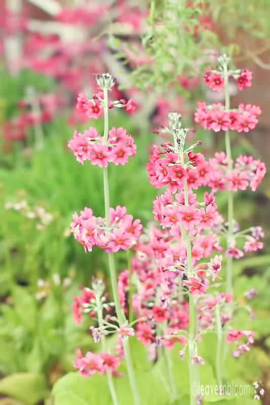 pink candelabra primrose flowers