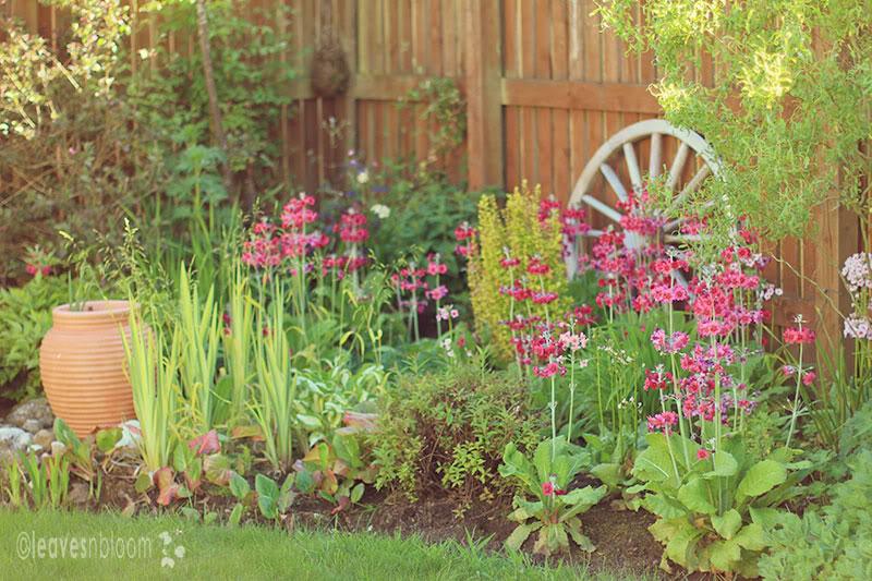 Candelabra primrose Primula japonica Millers Crimson RHS AGM