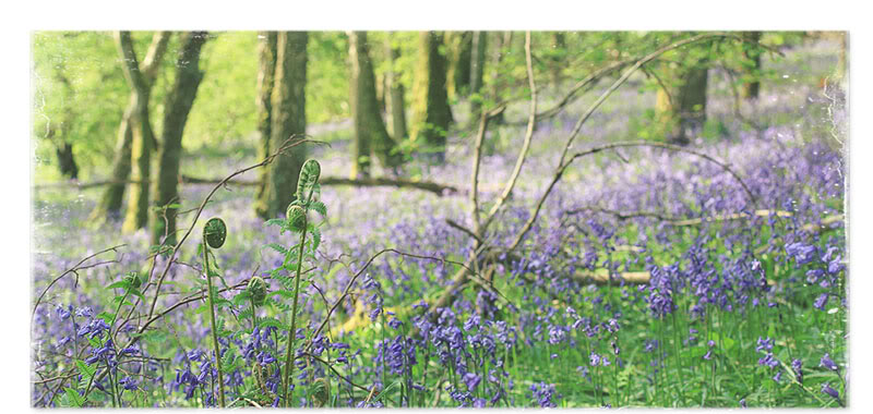 Bluebell wood, Perthshire, native flower photography from Scotland