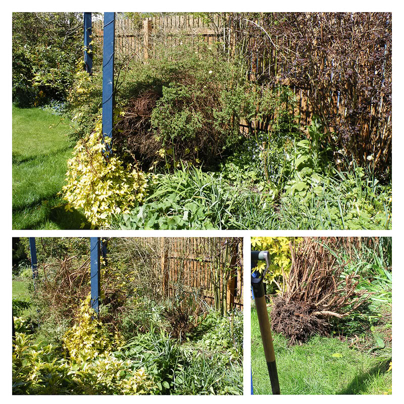 Football Soccer Proof Garden Plants - work begins on digging out Potentilla fruticosa 'Katherine Dykes'