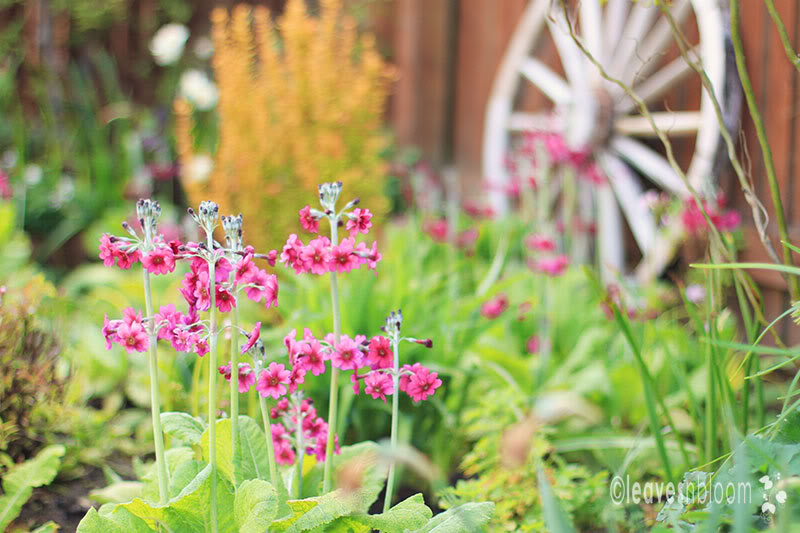 What's in flower in May? - Primula japonica Miller's Crimson