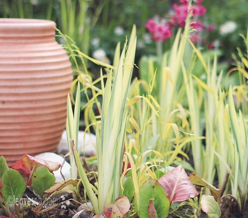 Milium effusum 'Aureum' | Iris variegata | Bergenia