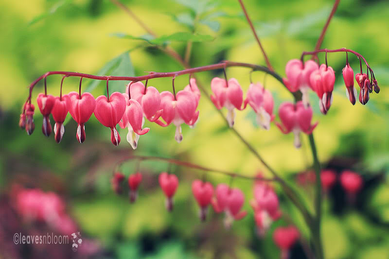 What's in flower in May? - Laprocapnos spectabilis | Dicentra spectablis | Bleeding Heart
